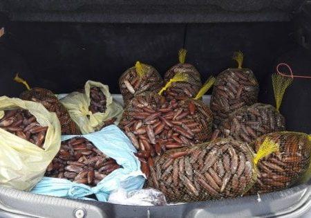 Andria, scoperto con 70 chili di datteri da vendere ai ristoranti: valevano 6mila euro