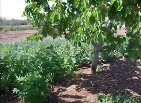 Droga: arrestato 70enne molfettese sorpreso mentre coltivava canapa indiana