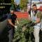 Sequestrate circa 13.000 piante di canapa indiana a Cerignola. Tratti in arresto 3 responsabili.