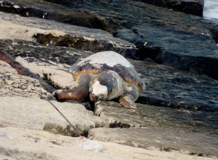 Spiaggiata una tartaruga a Cala S.Andrea