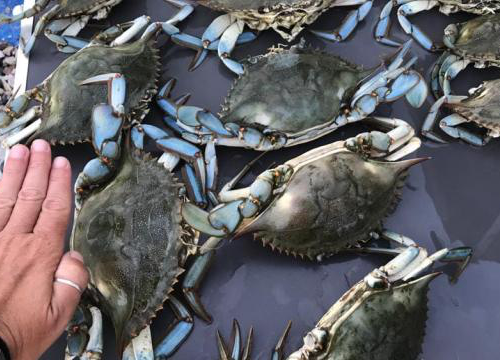 Dopo l'alga tossica altra grana per i pescatori baresi: arriva l'incubo dei granchi blu