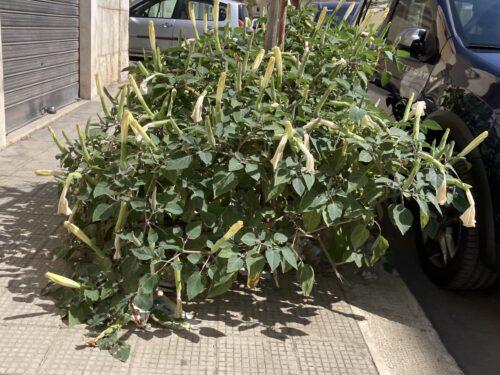 In Corso Fornari il Comune pianta alberi e altre specie arboree (velenose?) che ne bloccano la crescita